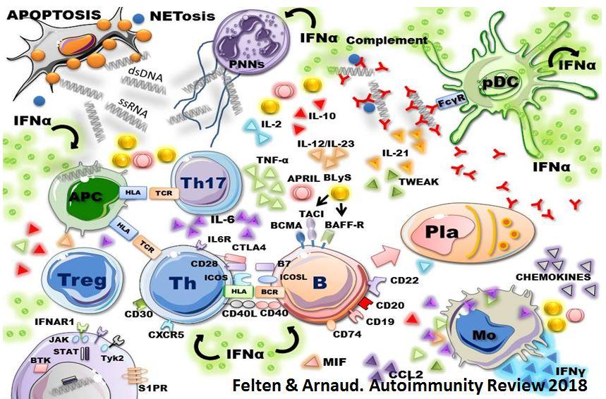 immunologie pathogénie système immunitaire lupus systémique